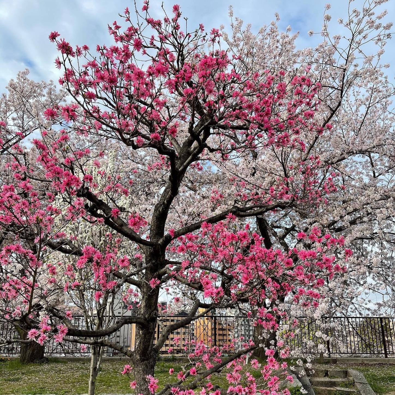 桃園の桃と桜