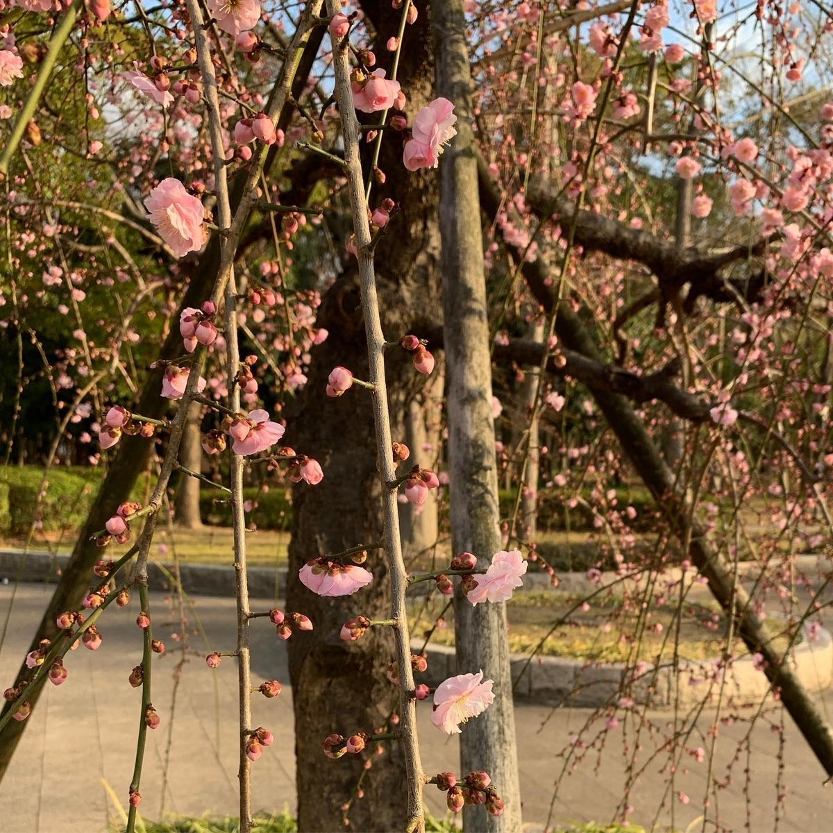 大阪城公園内の梅