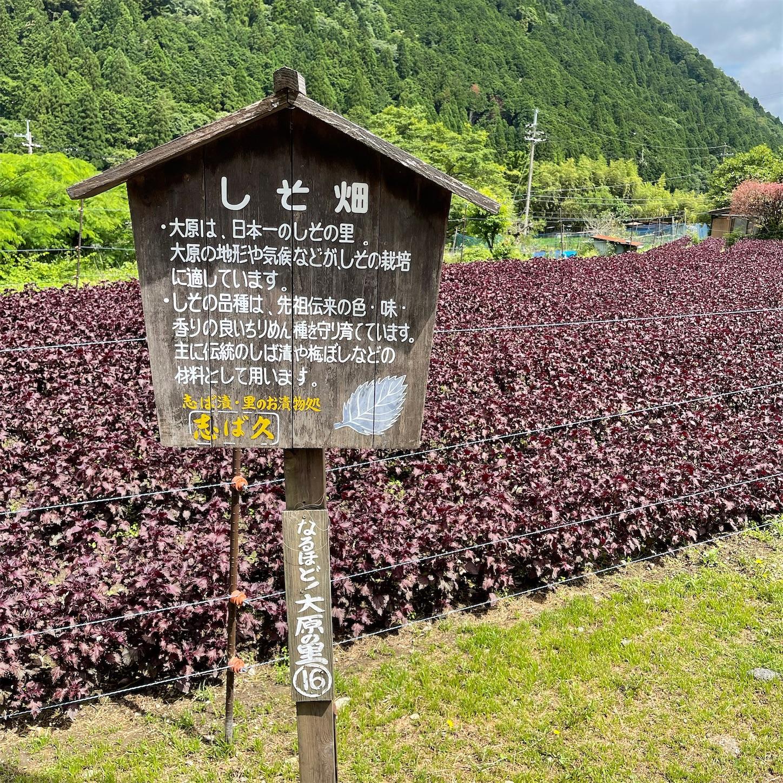 赤紫蘇の畑