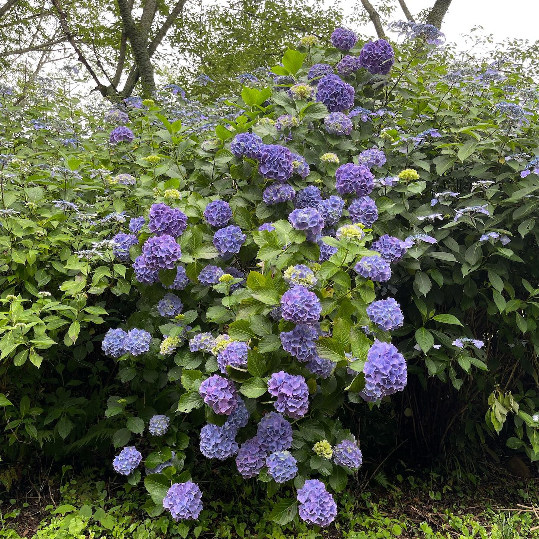 ぬかた園地の青い紫陽花