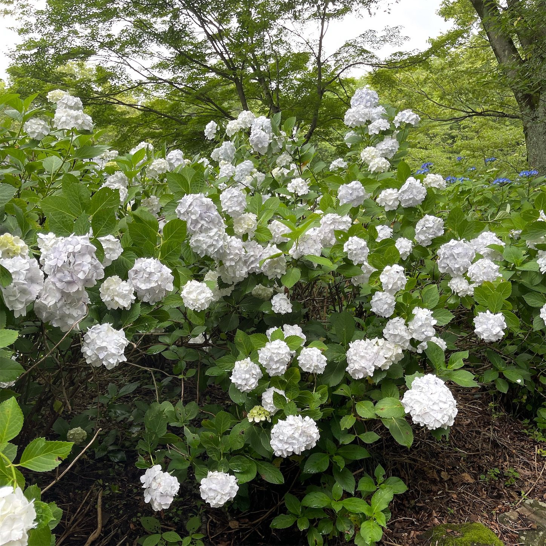 ぬかた園地の白い紫陽花