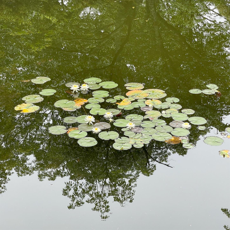 どんぐり池の睡蓮