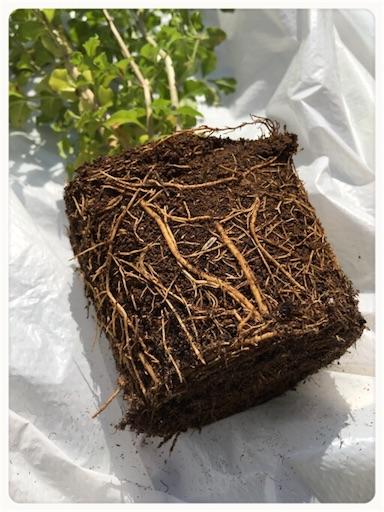 シマトネリコ根鉢1