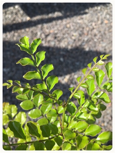 シマトネリコ鉢に植え替え2