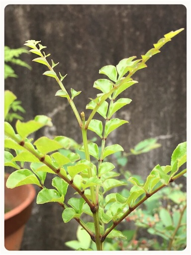 シマトネリコ頂芽1