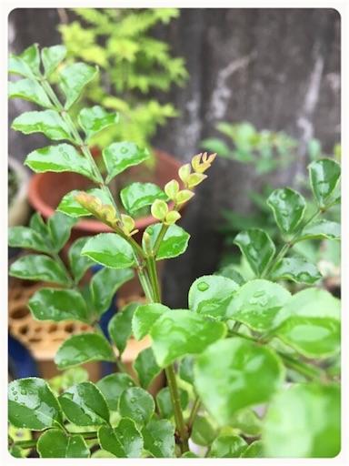 シマトネリコ頂芽3