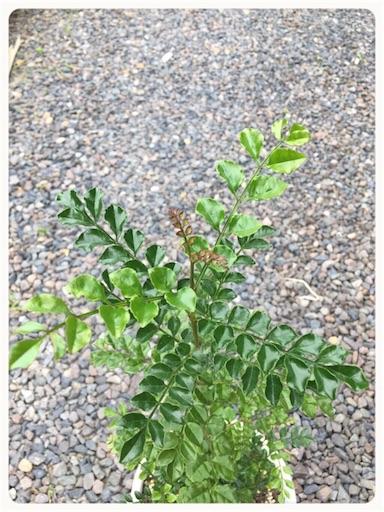 シマトネリコ頂芽5