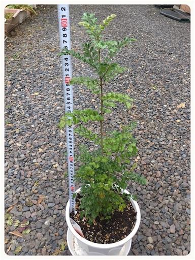 シマトネリコ樹高生長1