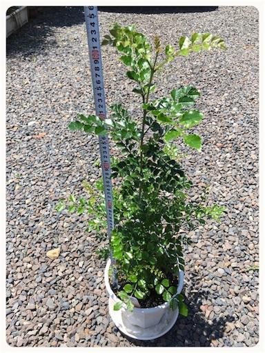 シマトネリコ樹高生長2