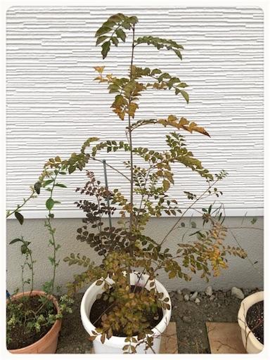 シマトネリコ葉が緑色1
