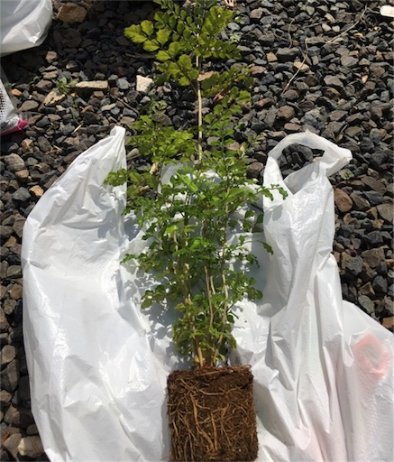 シマトネリコ植え替え1