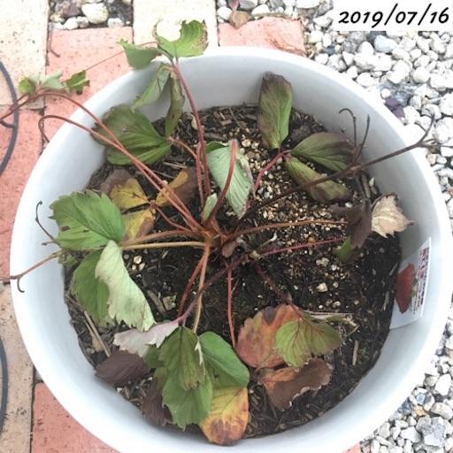 葉が萎れたイチゴ