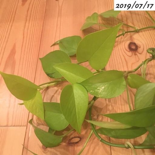 ポトスライムの葉