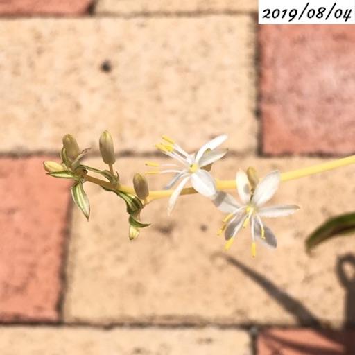 オリヅルランの花