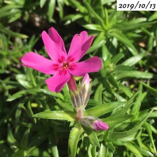 シバザクラ季節外れの花