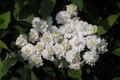 シジミバナ(蜆花)バラ科
