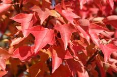 トウカエデの紅葉