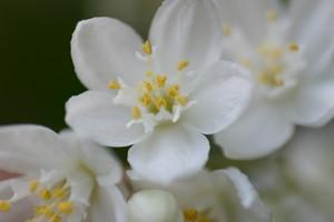 「ヒメウツギ」の花の接写・花糸の翼