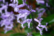 モナ・ラベンダーの花