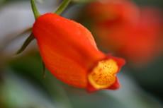 金魚そっくり、「シーマニア」の花
