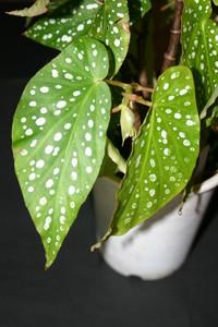 木立ベゴニア「オレンジルブラ」種