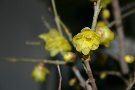 「マンゲツロウバイ(満月蝋・臘梅)」の開花