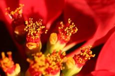 ポインセチアの花・蜜袋