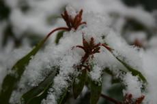 アメリカシャクナゲの花芽に、綿帽子