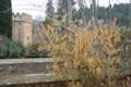 アルハンブラ宮殿、植え込みの「ロウバイ」