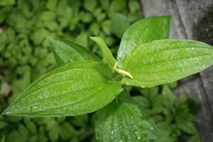 緑色のままの「ハンゲショウ(半夏生)」の葉(19.7.2)