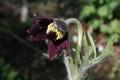 「オキナグサ(翁草)」の花(20.4.28)