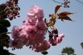 咲き始めた「サトザクラ(里桜)」(20.4.30)