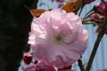 「サトザクラ(里桜)」の花