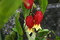 「アブチロン(浮き釣り木)」の花