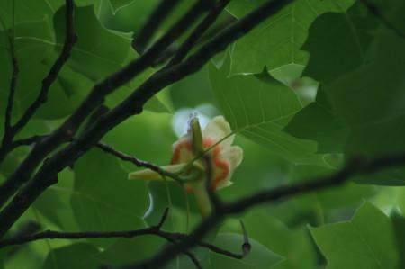 [「ユリノキ」の花を見]