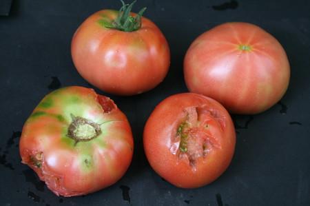 [トマト、野鳥の食害(]