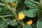 「落花生」の花(20.8.6)