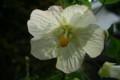 アオイ科の「鉢花」