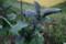 遅くに植えた「秋茄子」(20.9.29)