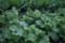 生育順調な「山形菜」(20.9.29)