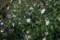 「ヨメナ(嫁菜)」の花(20.10.1)