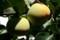 色づき始めた「柿の実」(20.10.1)