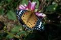 「ツマグロヒョウモン」がダリアの花に。