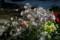 「プリムラ」鉢花、日光浴(212.2.12)