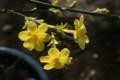 咲き始めた「オウバイ(黄梅)」(21.3.23)