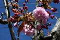 早くも咲き始めた「サトザクラ(里桜)」(21.4.26)