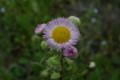 「ハルジオン」の花(21.5.5)