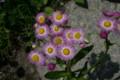 紅色が濃い「ハルジオン」の花(21.5.25)