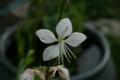 「ハクチョウソウ(白蝶草)」の花(21.6.16)