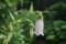 雨降りが似合う花「ホタルブクロ」(21.6.30)